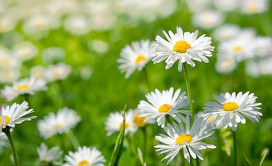 Photo sur Plexiglas Marguerites Spring flowers marguerites in a grean meadow