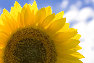 Beautiful yellow sunflower under the blue sky.
