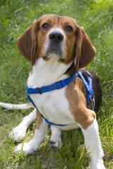 Young Beagle Dog