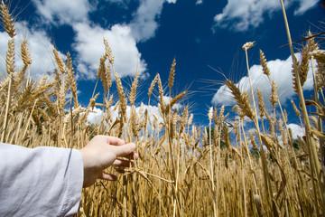 champ de blé en été