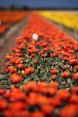 Tulip farming