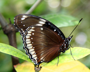 BLACK BUTTERFLY STANDING ON A LEAF
