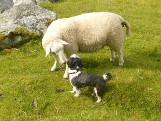a dog and a sheep