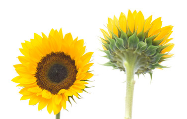 sunflowers not talking to each other, isolated on white