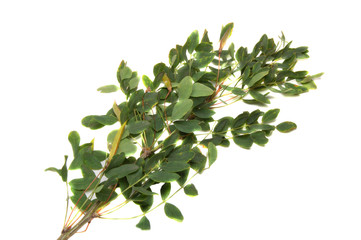 Branch of an acacia with pods isolated on a white background