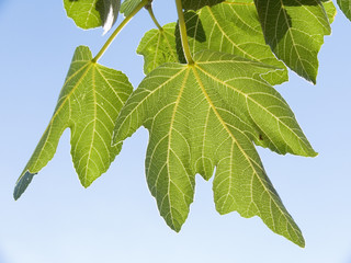 leaves of fig isolated on background