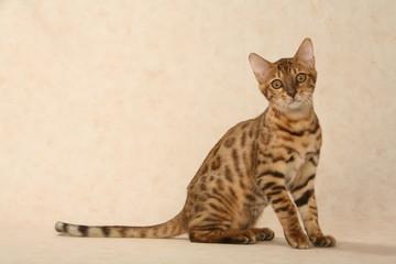 chat bengal au regard persant