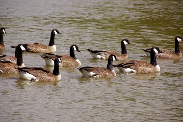 Canada geese swimming in the water
