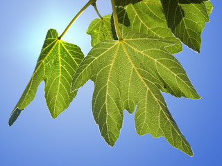 background for green fig leaves