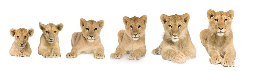 lion cub growing from 3 to 9 months in front of a white backgrou