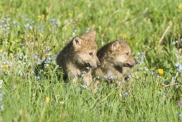 Wolf cubs in spring meadow