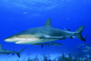 Caribbean Reef Sharks in Bahamas