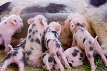 One week old fuzzy baby piglets feeding with mother