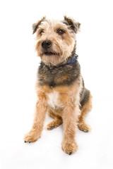 Scruffy Terrier 3