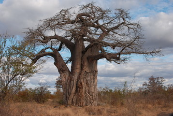 Baobab parc national de chobe