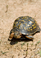 Box turtle walking on dry and arid ground.