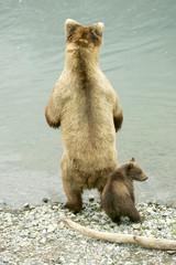 Grizzly bears fishing for salmon, Katmai NP, Alaska