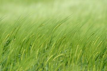 Green wheat in field