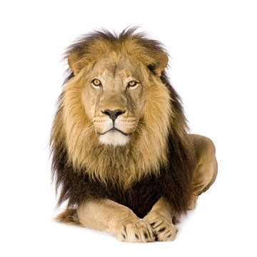 Lion (4 and a half years)