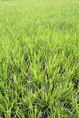New green rice on the field, Sumatra, Indonesia