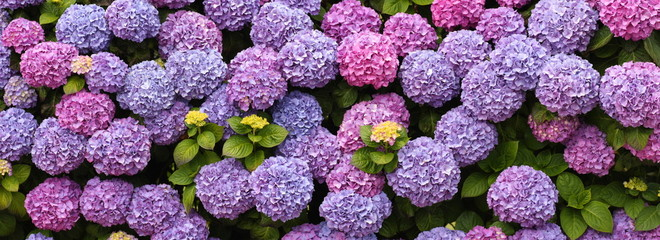 Photo sur Toile Hortensia hortensias