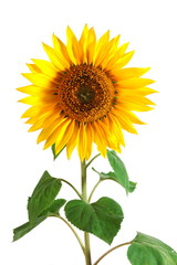 A Sunflower isolated on a white background.