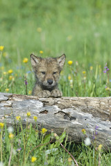 Timber wolf cub, photographed near his den in Montana