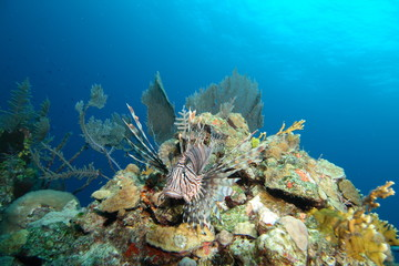 Common Lionfish in the Bahamas