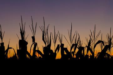 The sun sets over a corn field in rural Illinois.