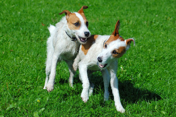 Parson Jack Russell Terrier Friends Playing