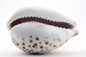 Macro. Sea shell on white