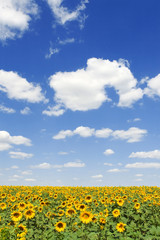 field of sunflowers and blue sky background.