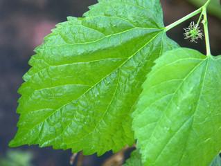 feuilles de murier