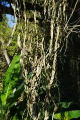 Lianes, forêt tropicale, jardin botanique, Brésil.