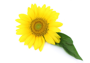 yellow sunflower isolated on white