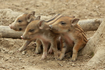 wild young pig