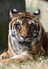 tigre animal félin féroce disparition espèce chasse protéger fou