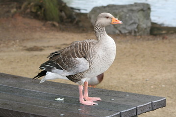 Table Manners ( Greylag Goose)