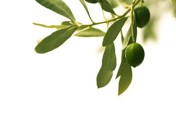 Photo sur Toile Oliviers décoration florale - olivier isolé sur un fond blanc