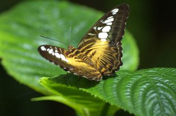 Clipper Butterfly, open wings, green leaf