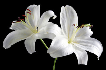 Stores photo Fleur de lis two white easter lillies isolated on black