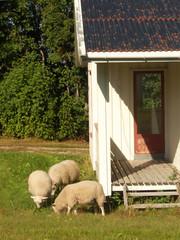 sheep in my garden