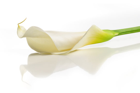 Detail of calla lilly flower isolated over white with reflection