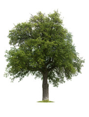 XXXL old pear tree isolated against a white background
