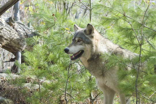 Gray wolf in evergreen forest. Northern Minnesota