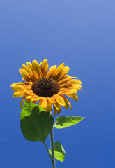 amazing sunflower and blue sky background