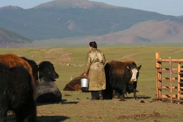 Elevage de yacks en mongolie