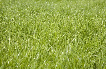Meadow covered with a lush green grass