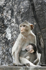 monkeys familly in a historical park at Asia