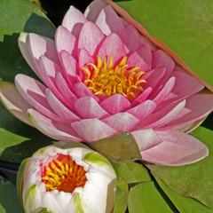 nymphéa rose
